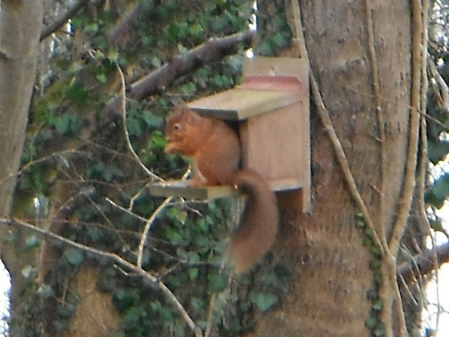 Red squirrel in the wood behind the pods